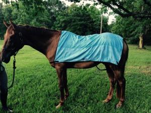 Tegan's Horse enjoying his Equi Cool Down body wrap!  Congratulations!